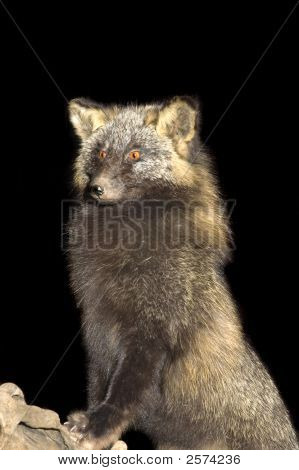 Arctic fox standing on log isolated on black poster