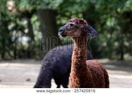 Portrait Of Brown Domesticated Alpaca (vicugna Pacos) Species Of South American Camelid. Photography