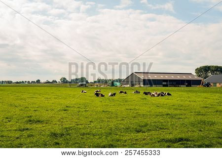 Dutch Agricultural Landscape With A Barn And Stable In The Background And Ruminating Black And White