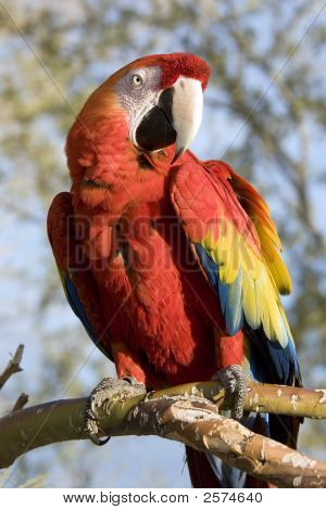 Red Macaw Sitting On A Branch