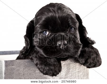 poster of American Cocker Spaniel puppy
