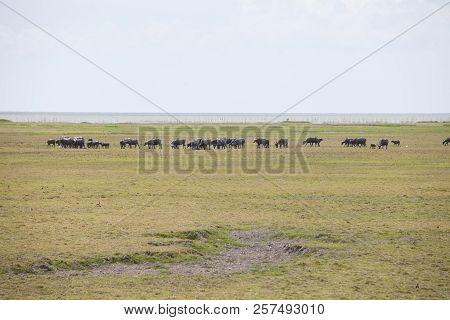 Buffalo In Thailand,life' Machine Of Farmer.