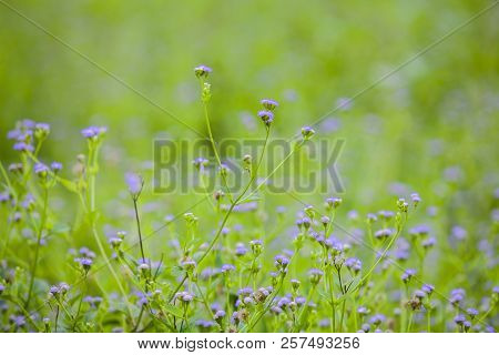 Flowering Of Small Blue Flowers Scilla In The Spring In A Forest, Background