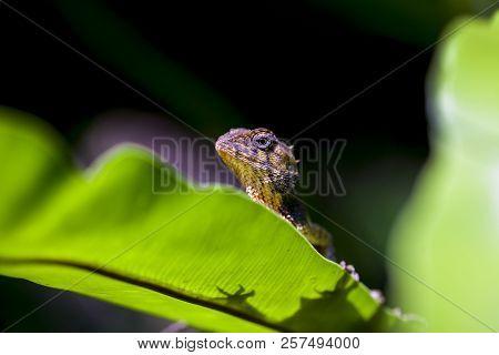 Lizard Taking Sunbathe, Chameleon Sunbathe In Morning With Blur Nature Background.