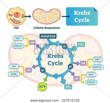 Krebs Cycle Vector Illustration. Citric Tricarboxylic Acid Labeled Scheme. Educational Diagram With