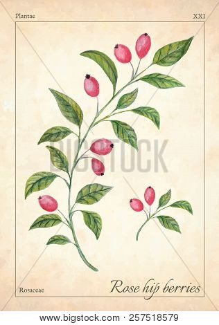 Rose Hips Berries Isolated. Watercolor Rose Hip Berries Vector Illustration. Isolated Rose Hip Berri