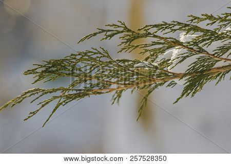 Fluffy Christmas Trees Under The Snow. Very Close To A Branch Of A Conifer Tree Under The Snow. Ther