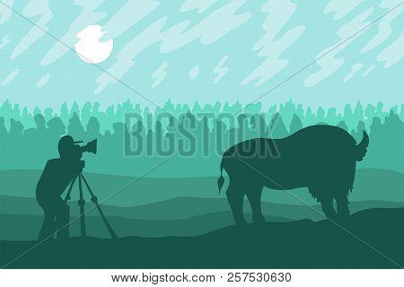 Photographer Photographs Walking Bizon On Field. Wild Bison. Green Nature Scene. Hills Landscape. To