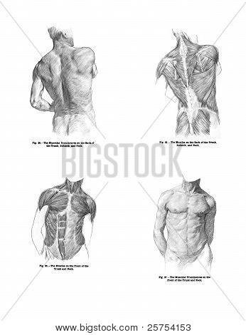 4 Views Of The Human Back Muscles, And Torso