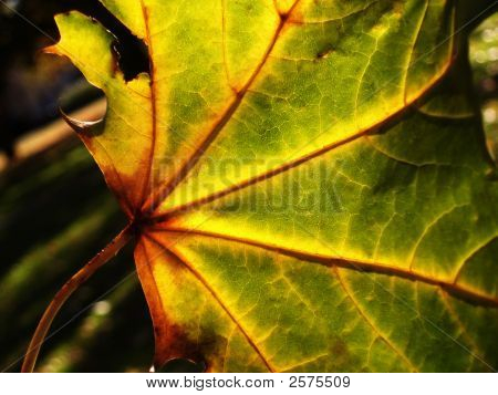 a colourful and bright autumn leaf with the sun shining behind it poster