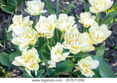 The Inflorescence Of Beautiful White Tulips Grows On A Flowerbed In The Spring Under The Open Sky, A