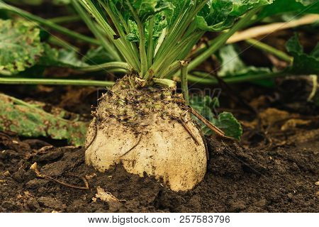 Organic Sugar Beet Field. Image With Copy Space.