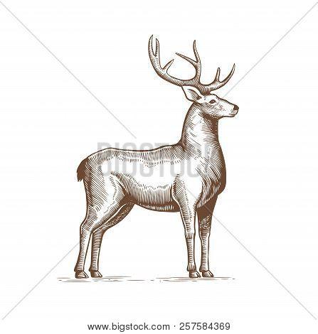 Illustration Of A Deer Drawing By Hand In Vintage Engraving Style. Deer Grunge Label, Sticker Depict