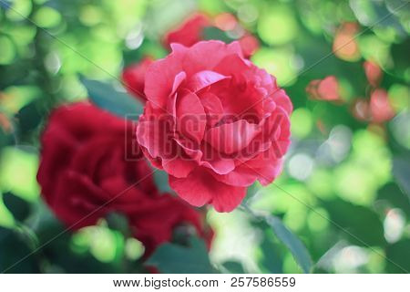 A Small Bouquet Of Red Roses Blossoms In The Garden On A Green Background, A Red Rose Close-up, A Be