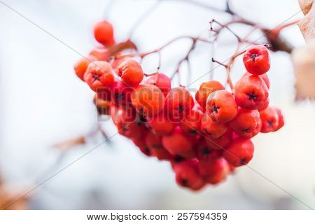 Close-up Of Bright Rowan Berries On A Tree