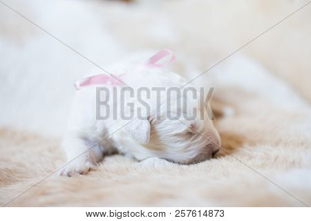 Portrait Of One Week Old Maremma Puppy Sleeping On The Cow's Fur. Sweet White Pup Looks Like A Bear