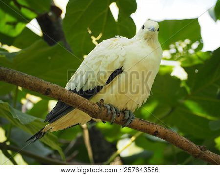 Photography That Is Showing A Pied Imperial Pigeon (scientific Name: Ducula Bicolor)