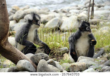 Thoma's Langur Monkey