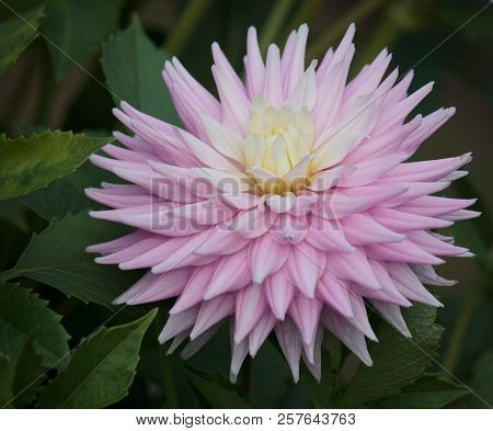 Closeup Of A Pink Pastel Colored Dahlia Flower