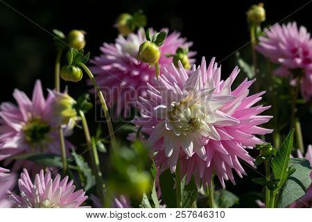Beautiful Pink Pastel Colored Dahlia Flower In A Natural Garden Environment