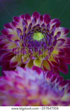 Closeup Of A Pink Purple Dahlia Flower