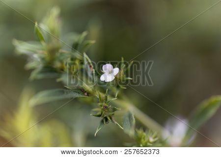 Flower Of The Savory Satureja Spicigera.