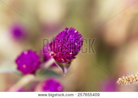 Flower Of Globe Amaranth (gomphrena Globose)