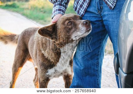 Adorable Brown Mutt Being Petted By Man While Looking Attentively Ahead.