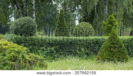 Wild Privet Ligustrum Hedge Nature Texture A Sample Of Topiary Art