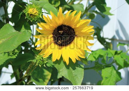 A Sunflower Blossom With Two Bees Sitting On It.