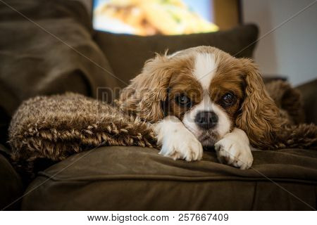 Cute Cavalier King Charles Spaniel Rescue Shelter Puppy