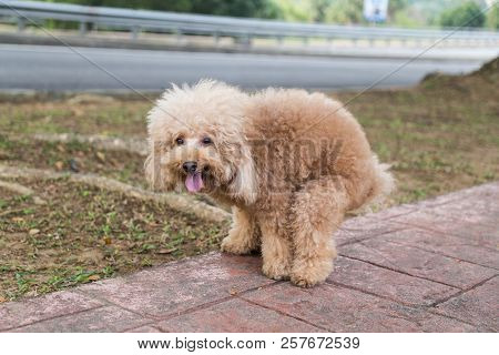 Poodle Dog Pooping Defecate On Walk Path In The Park