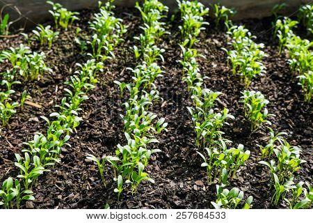Rows Of Young Cilantro Coriander Seedlings Growing In Mulch In Garden Bed In New Zealand, Nz - Selec