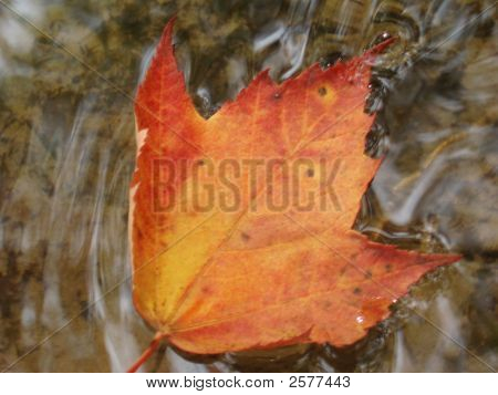 Fall Leaf In A Cool Stream
