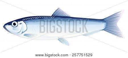 One European Sprat Fish From One Side, High Quality Illustration Of Sea Fish, Realistic Sea Fish Ill