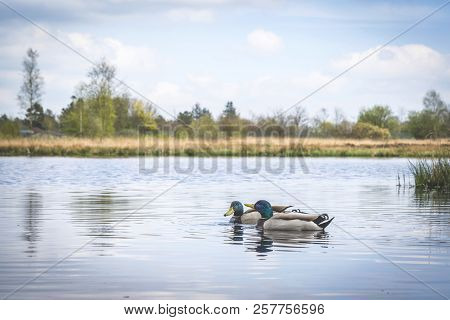 Ducks In A River In Idyllic Nature In The Spring With Blue Sky Above
