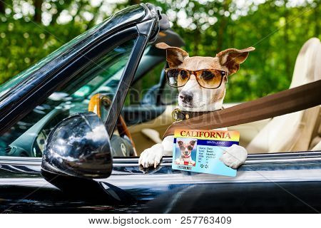 Jack Russell Dog In A Car Close To The Steering Wheel, Ready To Drive Fast And Save , With Seat Belt