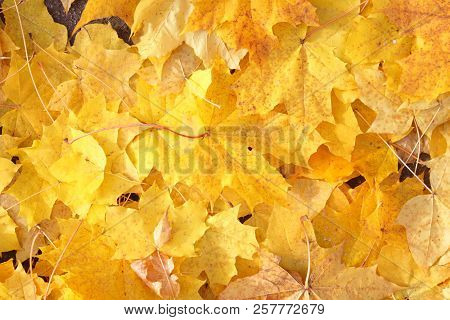 Beautiful yellow maple leaves background. The background of dry autumn leaves. Autumn leaves background. The dry fallen autumn leaves. Background of yellow maple leaves. Bright yellow maple leaves under my feet. Yellow maple leaves on the road. Walk in au