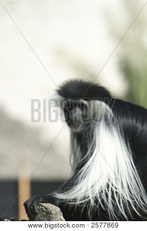 Picture of an African Colobus Monkey also known as the mantled colobus showing its black fur with white fringe on its back and around the face poster