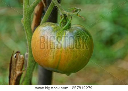 Big Red Green Tomato On A Bush Branch In The Garden