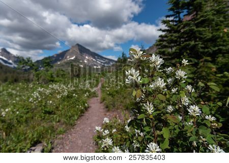 Flowers Along Trail Through Two Medicine Wilderness Area