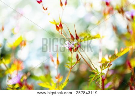 Herb Robert - Geranium Robertianum Blossoming In Spring Garden. Flower Bokeh. Selective Focus.