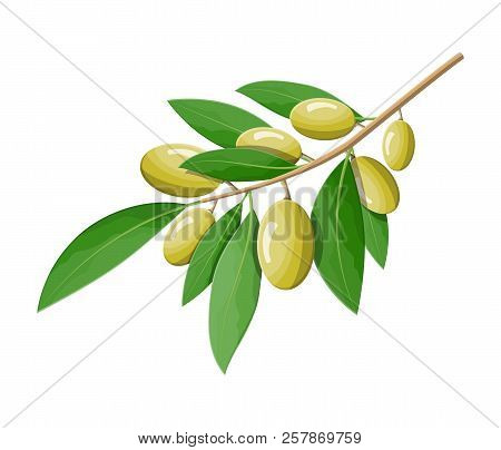 Green Olives Branch Isolated On White Background. Branch With Olives And Leaves. Olive Oil, Cosmetic