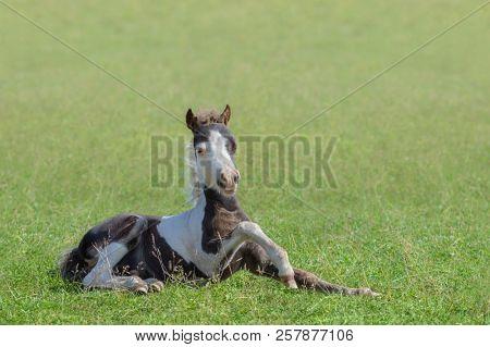 American Miniature Horse. Skewbald foal lying on green grass.