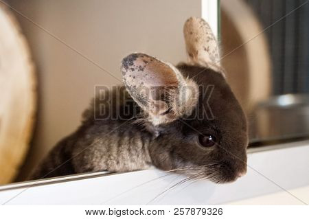 Cute chinchilla of brown velvet color is sitting in his house and looking down, side view. poster