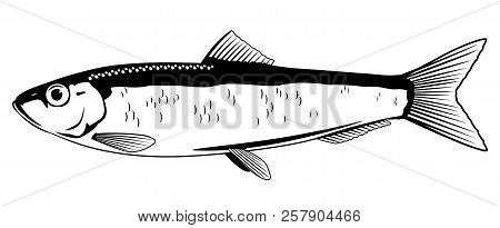 One European Sprat Fish In Side View In Black And White Color, Isolated