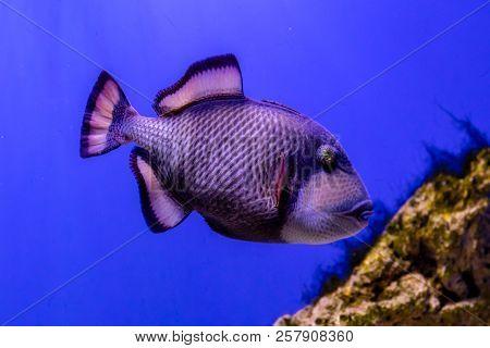 Beautiful Balistoides Viridescens Fish A Close Up