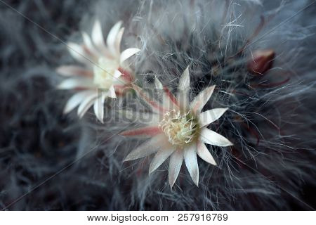 Horizontal Shot Of Blooming Fluffy Cactus With Two White Flowers.