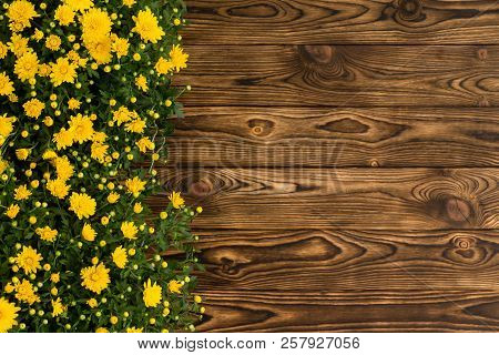Colorful Yellow Border Of Fall Chrysanthemums In Pots On A Rustic Wooden Table With Copy Space Viewe