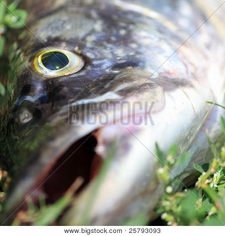 a jaws of big pike close up poster